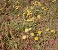 タンポポの雑種