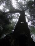 こならの大木