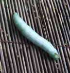 キイロスズメガの幼虫